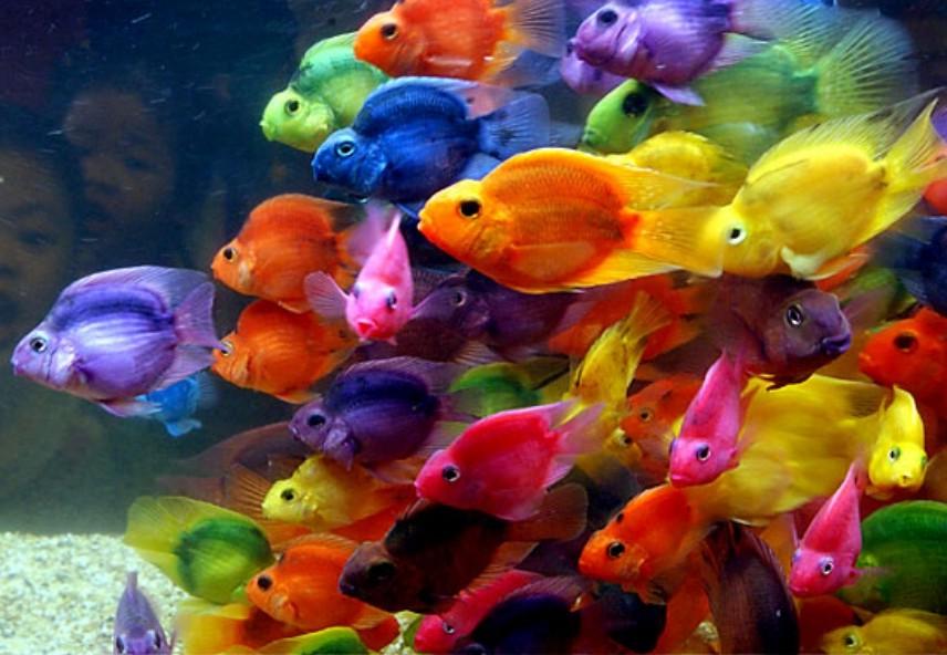 imagenes-peces-colores-pecera